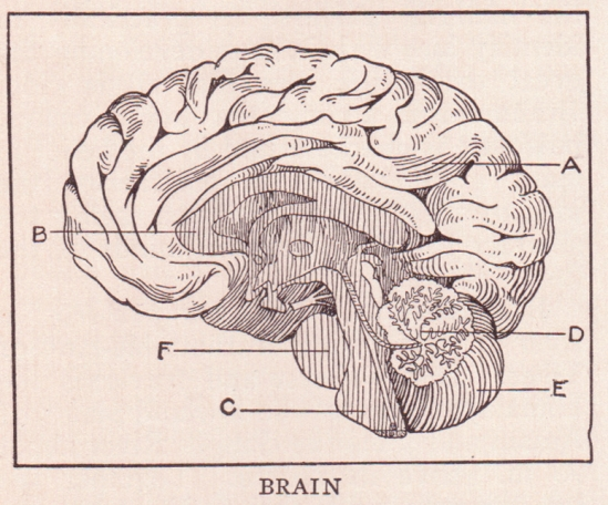 http://upload.wikimedia.org/wikipedia/commons/b/b9/Brain_page_368.jpg