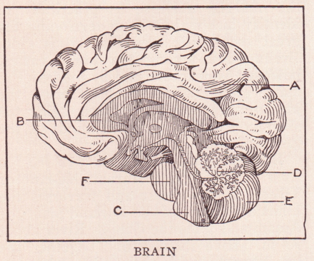 http://upload.wikimedia.org/wikipedia/commons/b/b9/Brain_page_368.jpg
